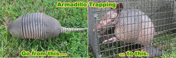 Armadillo Trapping Bait Laws Techniques How To Trap Armadillos