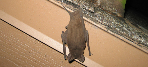 how to get bats out of the attic