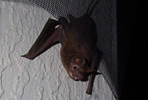 Bat Stuck In Fireplace Fireplaces