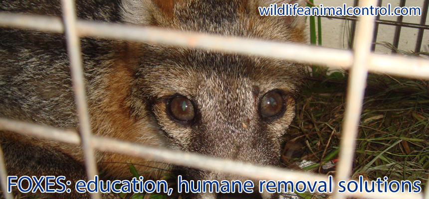 How to Get Rid of Fox in the Yard or Garden