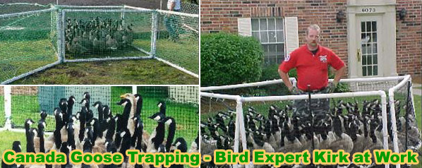 Canada Goose down online fake - Canada Goose Trapping - How to Trap Canada Geese in the Yard
