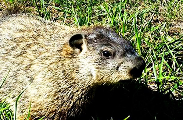 Catch Groundhog Live Cage Heart Trap Groundhogs Called Woodchucks Cute