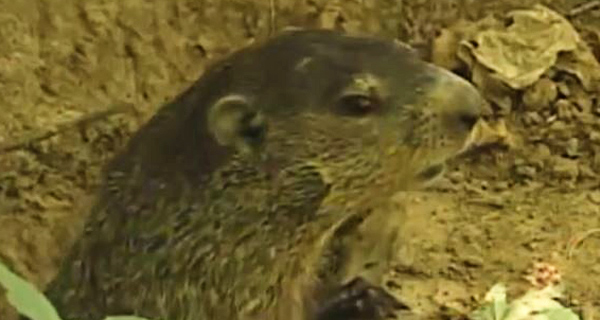 what diseases do groundhogs carry