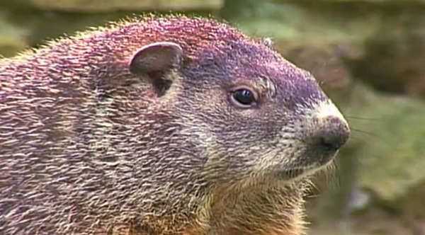the mating habits of groundhogs