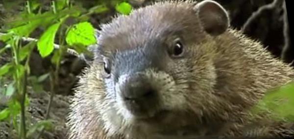 Groundhog Deter Garden Garden Ftempo