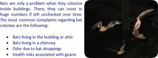 Bat Trapping How To Trap Bats In Your House Or Attic