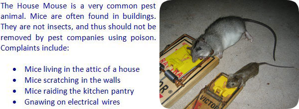 How To Get Rid of Mice in the House Attic Garage Walls Ceiling