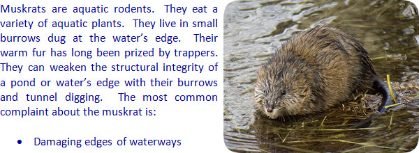 How to Get Rid of Muskrats in a Lake or Pond
