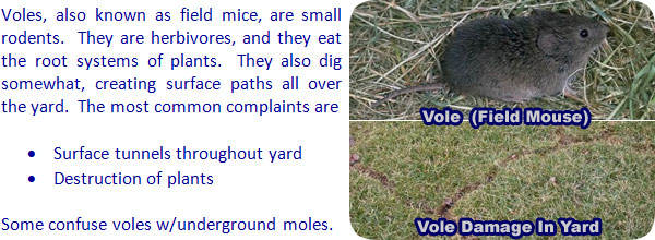 How to Get Rid of Voles in the Yard Garden or House Field Mouse