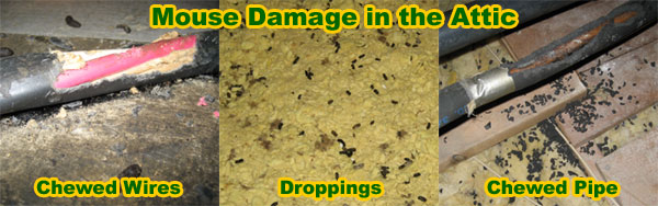 How to get rid of mice in the house attic garage walls ceiling mice can do considerable amounts of damage to your attic or home and to your health mice can squeeze thorough very small openings to gain entry into your ccuart Gallery
