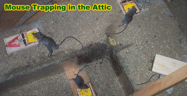 Mouse Trapping How to Trap Mice in the Attic Roof Yard