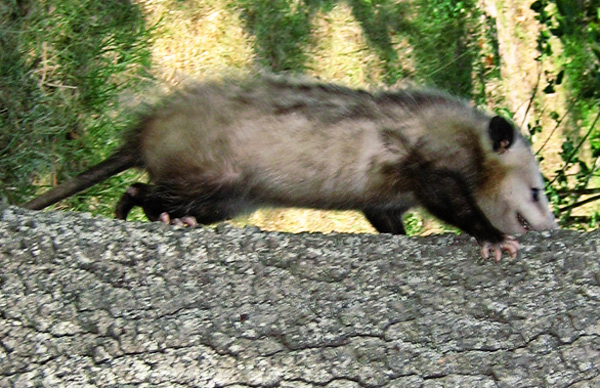 What Kind of Damage Do Opossums Cause?