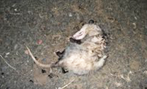 Is Opossum Feces Dangerous To Touch Or Breathe?