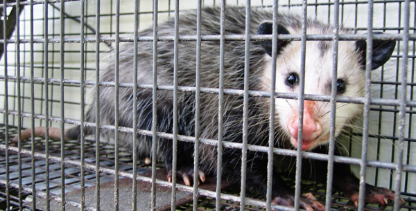 How to Use One-Way Exclusion Funnels to Remove Opossums