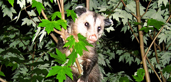 How to Keep Opossum out of Your Garden