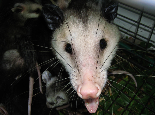 Do opossum hiss?