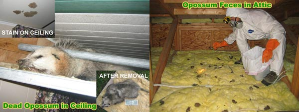 How To Get Rid Of Opossums In Attic Or Under House
