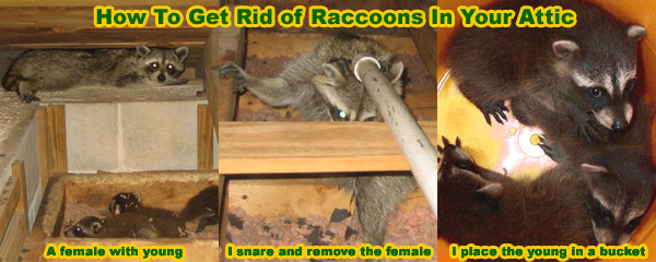 How To Kill Raccoons With Poison Or Other Methods