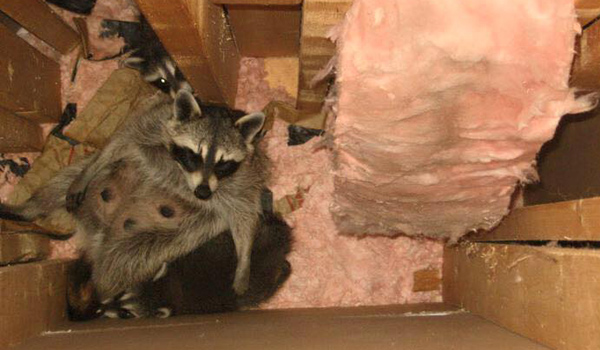 Scratching Sounds In The Attic Or Walls Animals