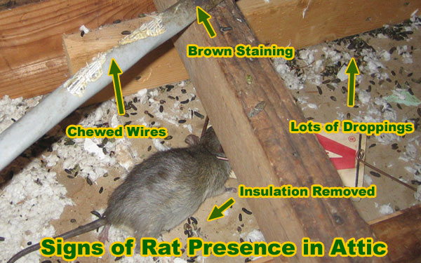 What Bait To Use For Rat Traps To Catch Rats