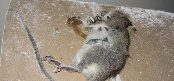 Awe Inspiring How To Find And Remove A Dead Rat Interior Design Ideas Oteneahmetsinanyavuzinfo
