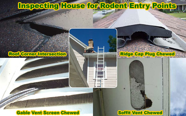 How To Keep Rats Away From Attic House Building Rat