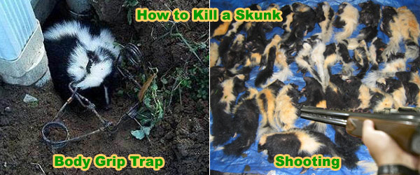 How to Kill Skunks Without Them Spraying - Is Poison the Answer?