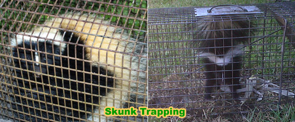 How to get rid of skunks under your shed or house without