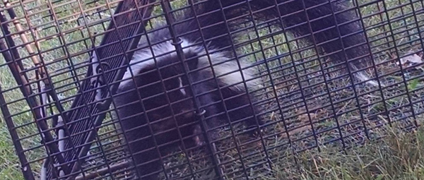 Yard Intrusions by Skunks and Ways of Killing Them