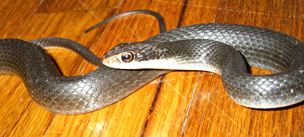 How To Find And Remove Snakes In Your Attic