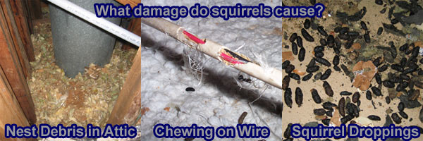 How To Get Rid Of Squirrels In The Attic Or House