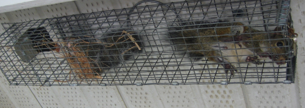 squirrels get wall entry baby of cage find live how in squirrel seal holes exclusion all way set if to nest walls outside the or door catch one doors traps points out