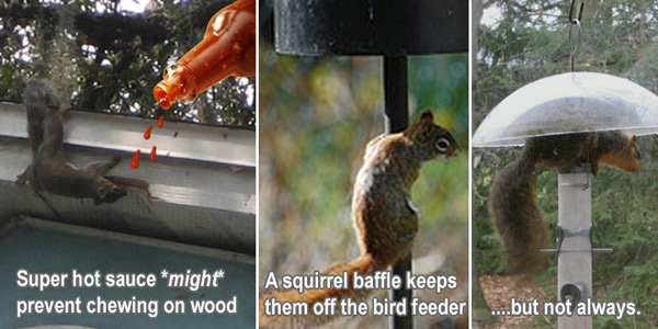 How to keep away squirrels from the yard garden - How to keep squirrels from digging in garden ...