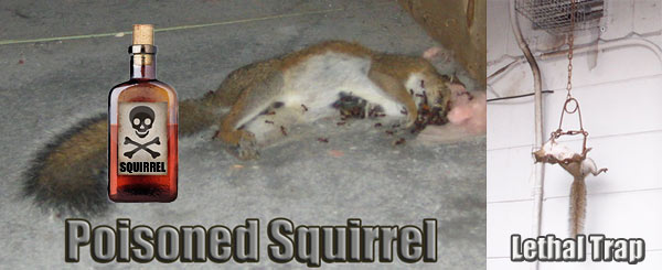 How To Kill Squirrels With Poison In The Attic Or House