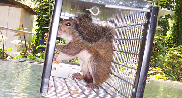 Fine How To Stop Squirrels From Chewing On Your House Or Plants Beutiful Home Inspiration Ommitmahrainfo