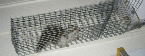 How to use one-way exclusion funnels to remove rodents