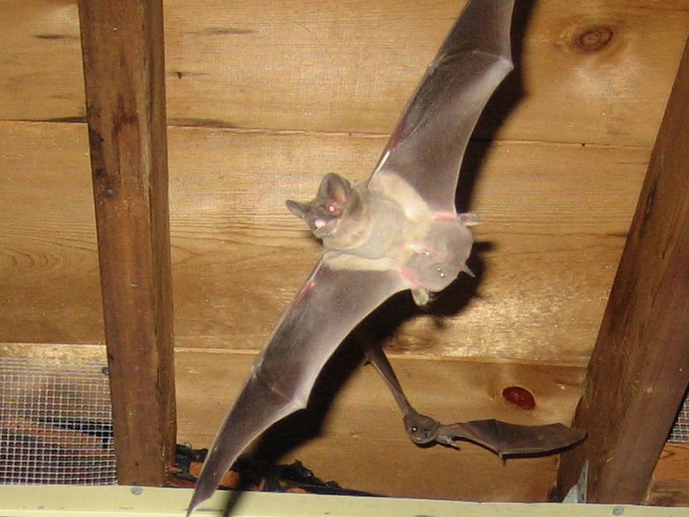 Wildlife Photograph Bats Flying Inside An Attic