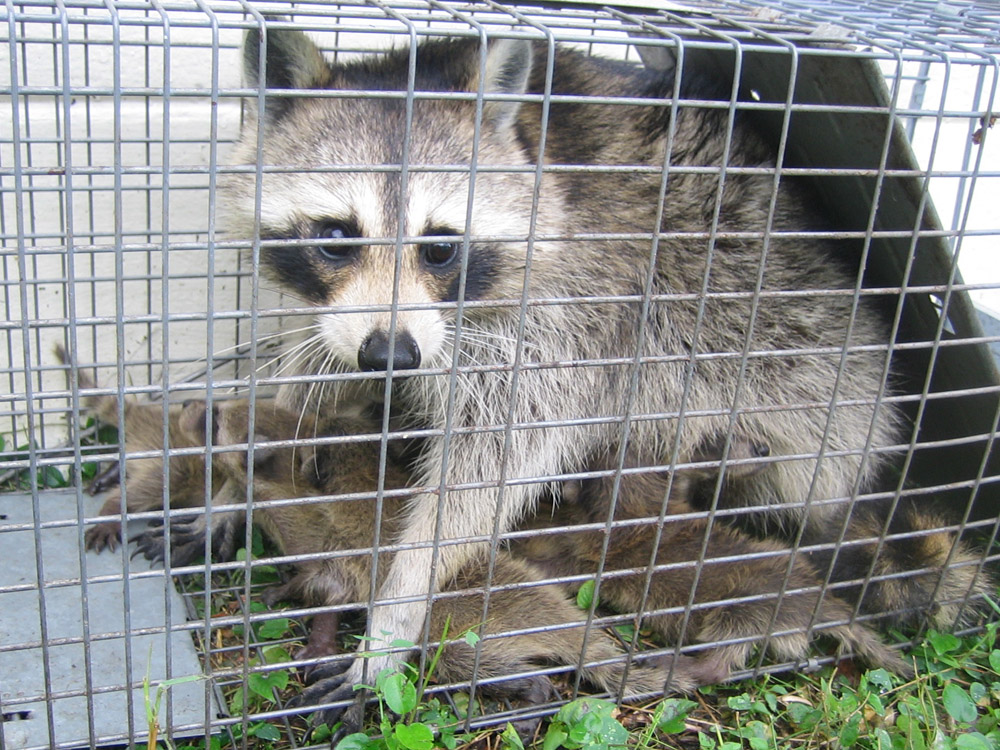 A Mother Raccoon In Cage Trap Lured In By Babies
