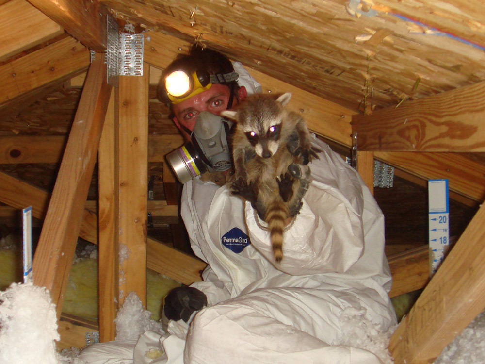 Wildlife Photograph Juvenile Raccoon Removed From Attic