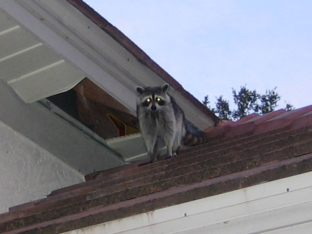 Wildlife Photograph A Raccoon Breaking Into A Roof And Attic
