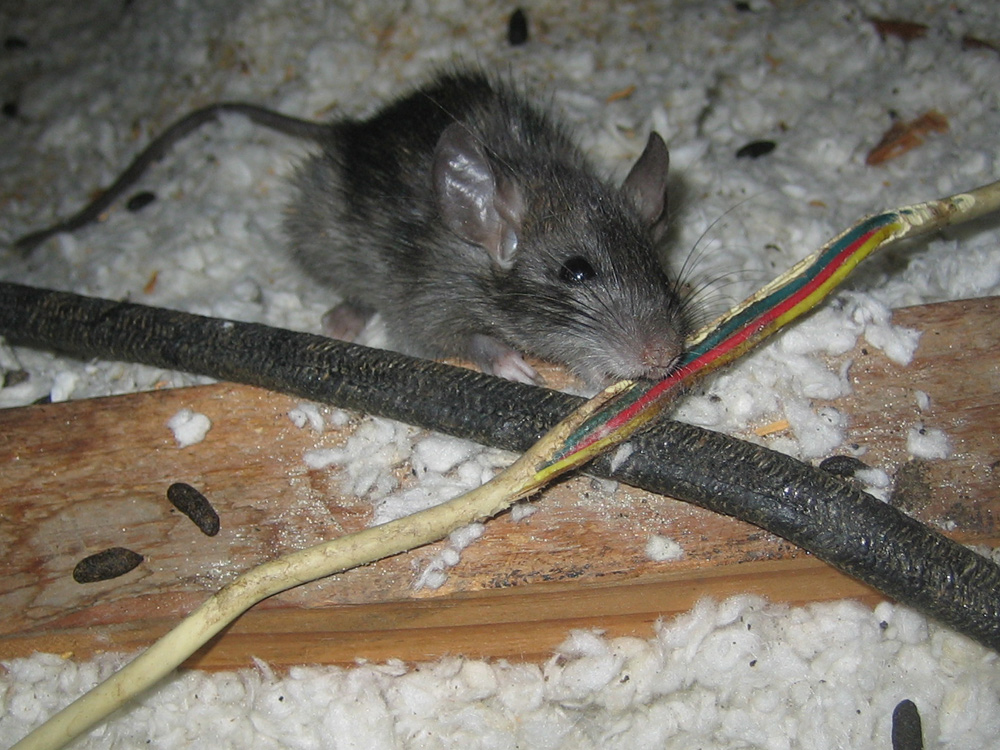 Wildlife Photograph A Rat Chewing On An Electrical Wire